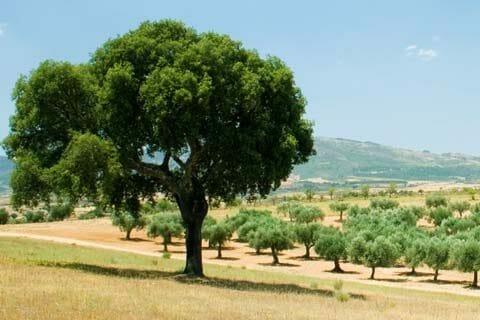 Rising hopes for cork oak stands
